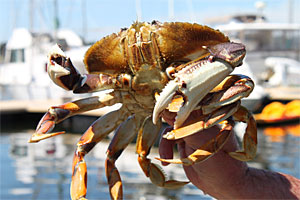 how to catch dungeness crab in bc